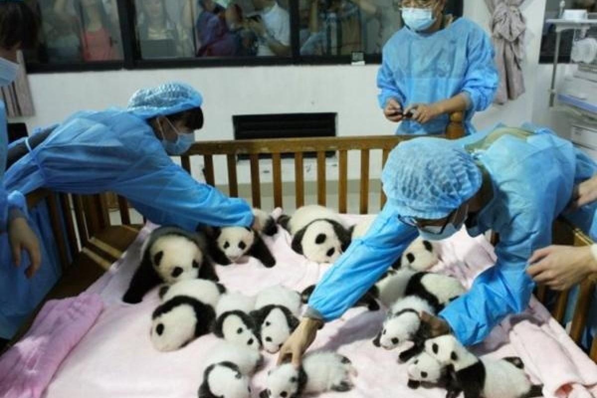 Nada más tierno que catorce pandas bebés