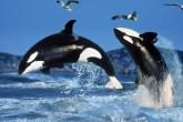 Esto es lo que pasa cuando te metes con la comida de una orca