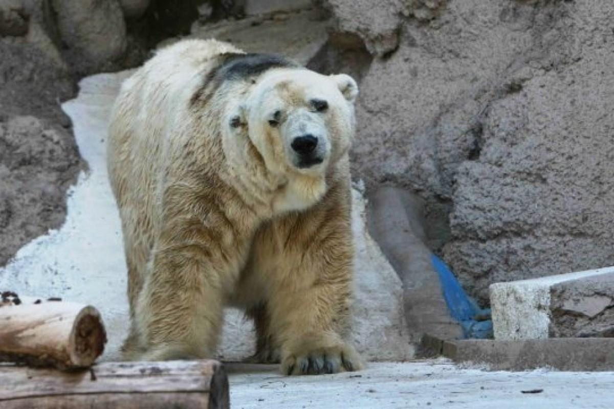 Arturo, el último oso polar en Argentina, morirá sin haber conocido la nieve