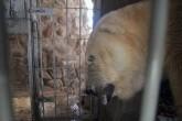 Murió Arturo, el último oso polar de Argentina