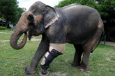 Increíble: Mosha, la elefanta con una prótesis de pierna