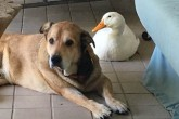 George, el perro que salió de depresión gracias a la amistad de un pato