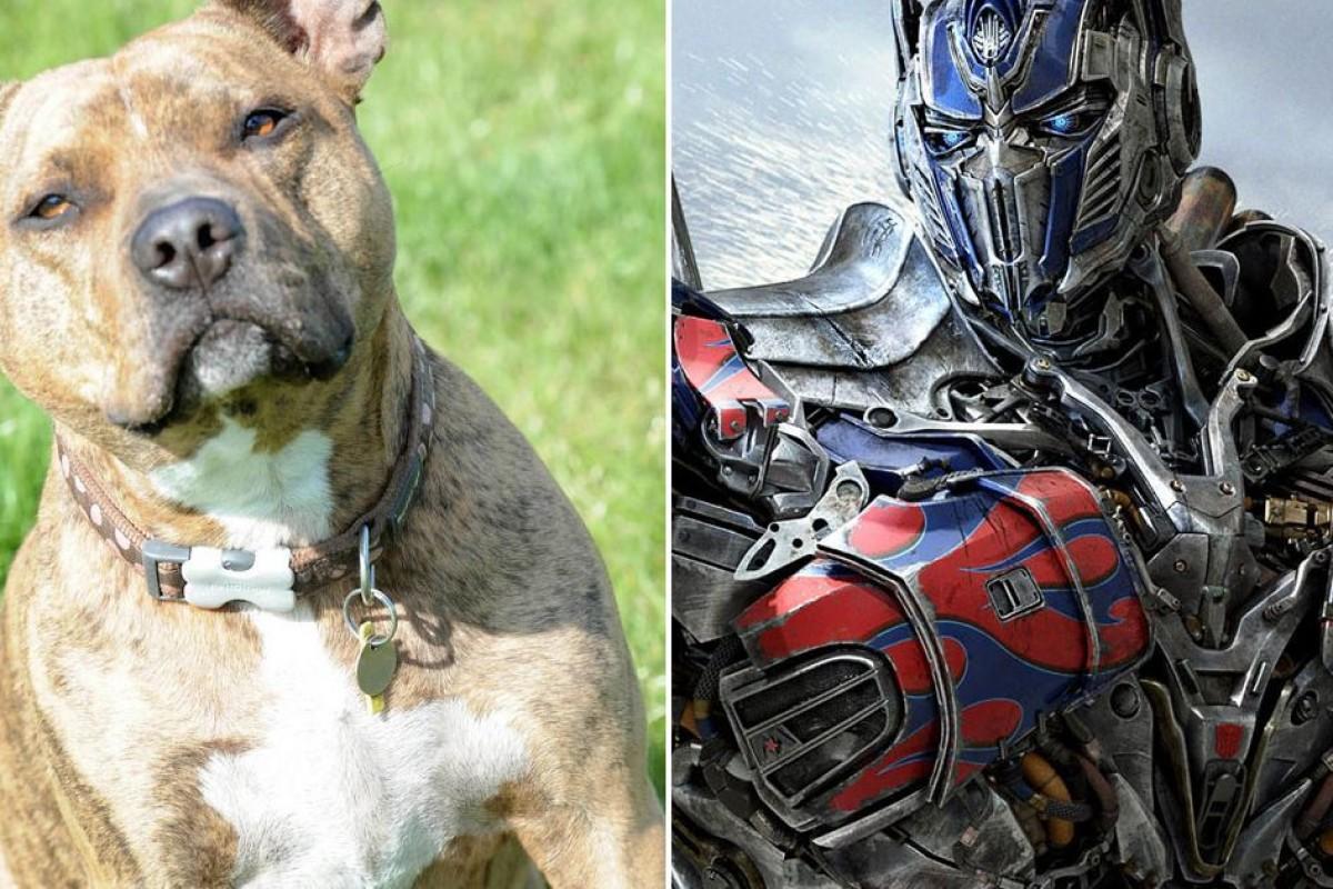 Freya: la pitbull que nadie quería adoptar y ahora será una estrella en Transformers