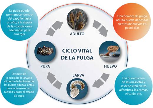 ciclo-vida-pulgas