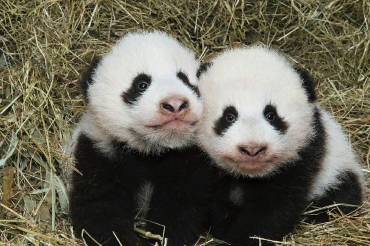 Los pandas gemelos que fueron bautizados a través de internet