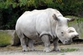 "Último rinoceronte blanco busca ""novia"" por Tinder"
