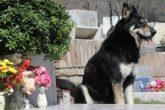 Murió 'Capitán', el perro que visitó durante 11 años la tumba de su dueño