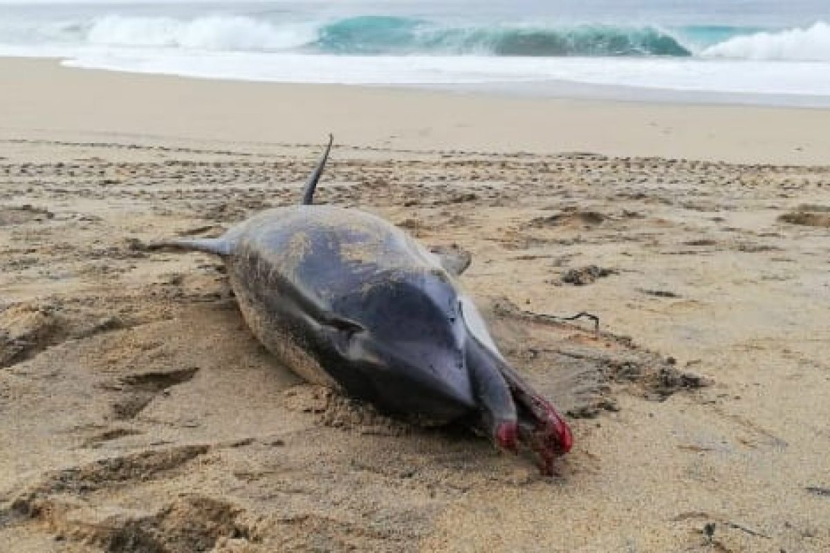El triste final de un delfín que murió por asfixia al tragarse un pañal arrojado al mar en México