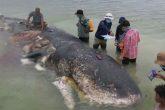 Hallan a una ballena con 6 kilos de plástico en su estómago